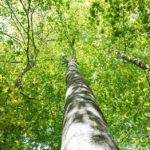 大きな樹木と太陽。エクスペアリエネルギー伝授